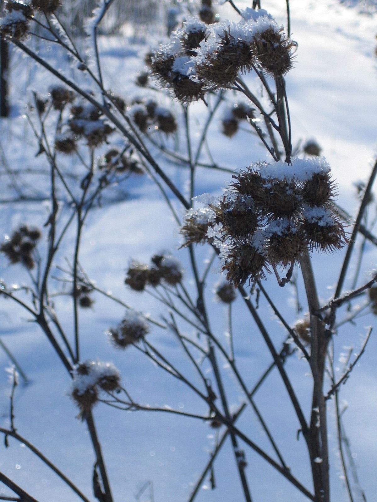 Bilden föreställer fröställningen på en kardborre under vintern.