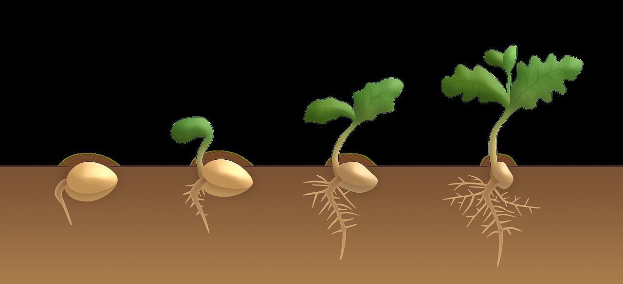 Olika stadier av ett frö som gror