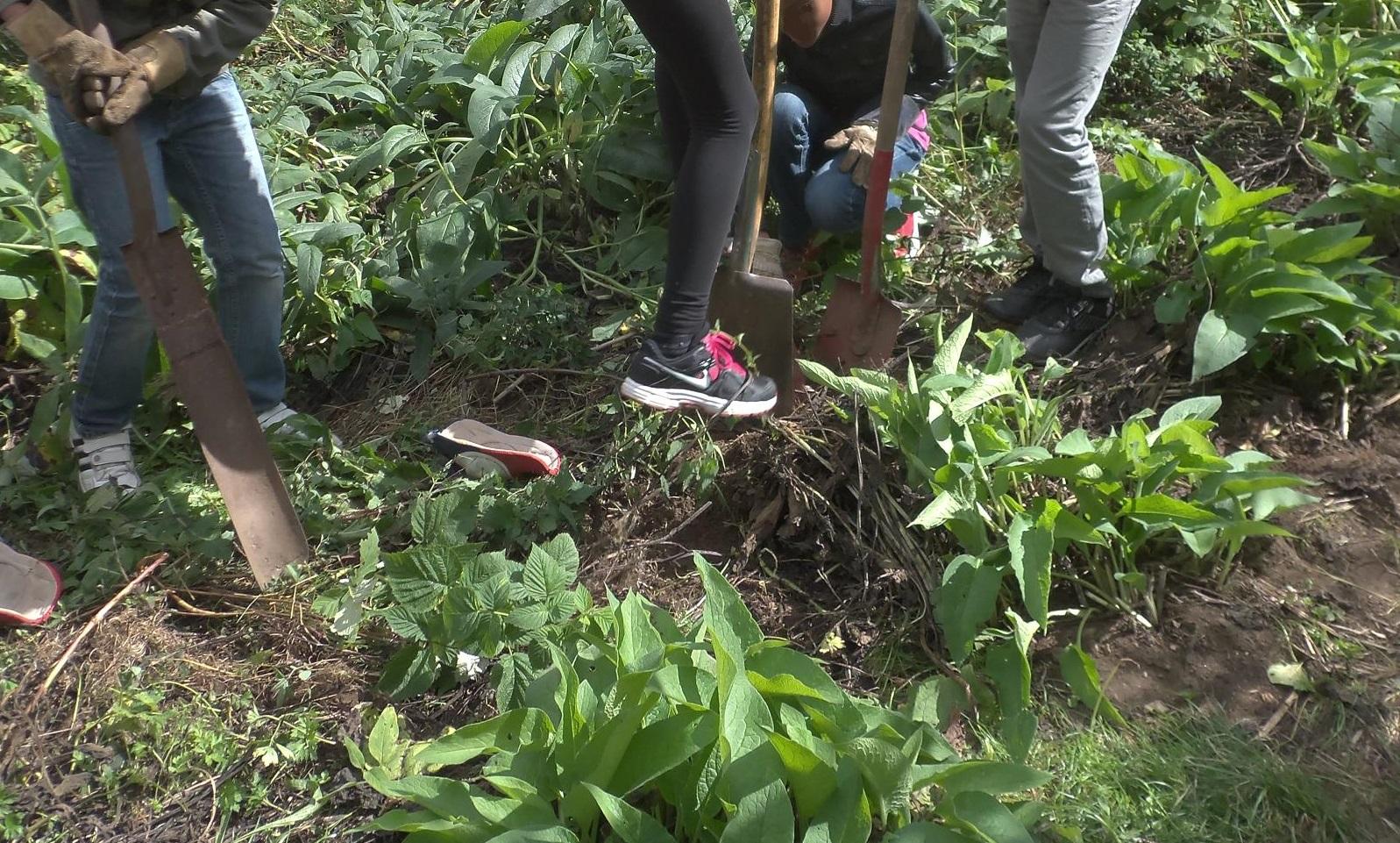 Bilden föreställer elever som gräver i jorden med spadar.